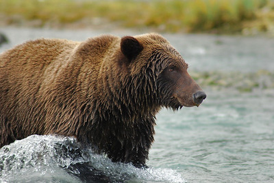 Grizzly Bear in Katmai National Park, near Geographic Harbor Alaska