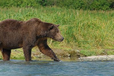 Grizzly Bear in Katmai National Park, near Geographic Harbor Alaska