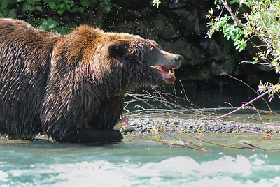 Grizzly Bear in Katmai National Park, near Geographic Harbor Alaska, big Mama eating one of several salmon we watched her catch.  Estimated at 800lbs.