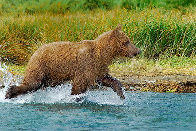 Grizzly Bear in Katmai National Park, near Geographic Harbor Alaska, we nicknamed Skinny because he never caught a salmon while we watched him for more than an hour.