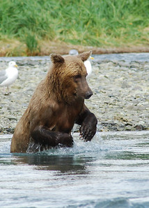 Skinny bear diving for fish...he didn't get it. Grizzly Bear in Katmai National Park, near Geographic Harbor Alaska