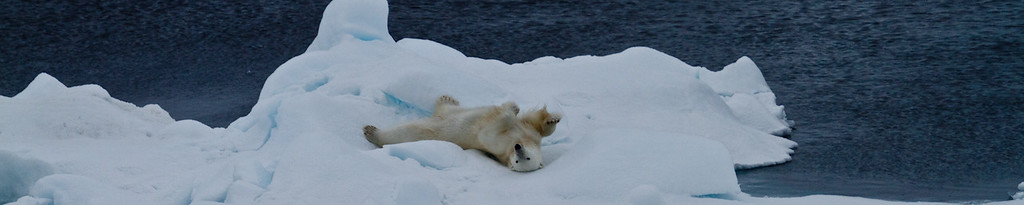 Polar Bear getting a back rub on the ice. Barents Sea, Franz Joseph Land, Russian Federation