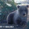 cute looking cub, near Brooks lodge, Katmai, Alaska