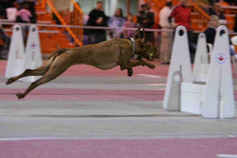 Groove flying even higher! What a fast girl. Amy said she helped her team win the tournament. She has achieved two titles and now is in Manitoba running in the agility in the Superdog show.