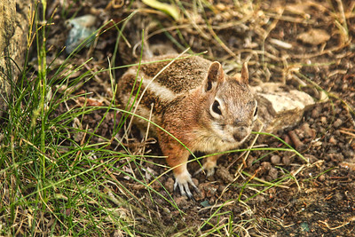 chipmunk squirrel Golden-mantled Ground Squirrel