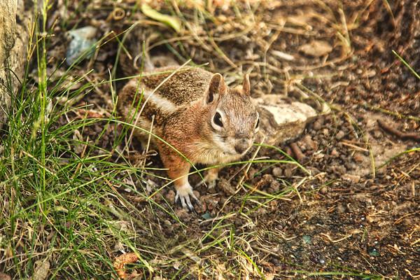 chipmunk Squirrel at the north rim, Golden-mantled Ground Squirrel