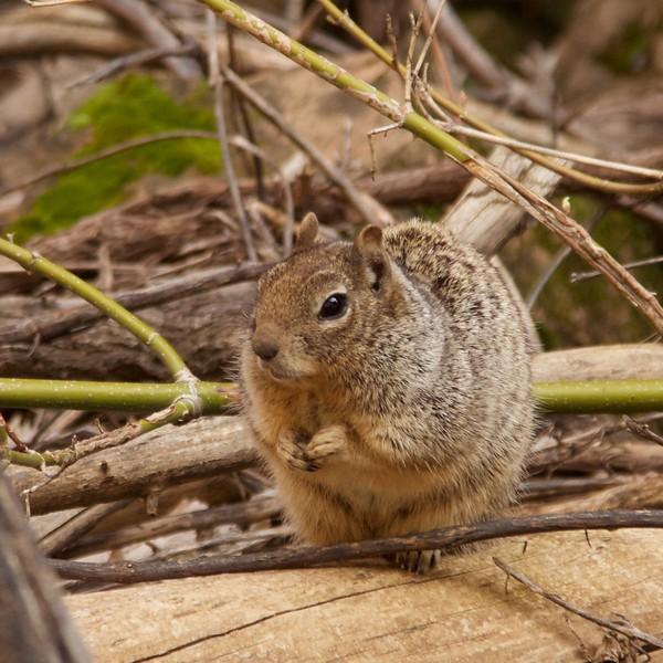 zion ground squirrel