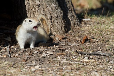 Groundhogs in Winnipeg