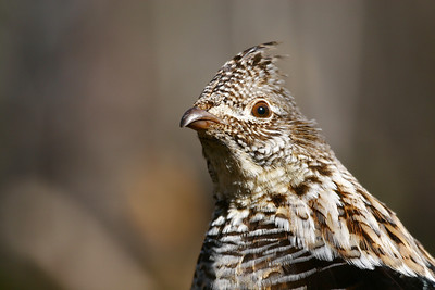 "RUFFED GROUSE 9653  ""Ruffed Grouse Portrait"""