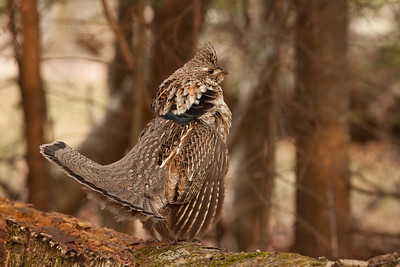 "RUFFED GROUSE 5743  ""Regal Ruffed Grouse"""