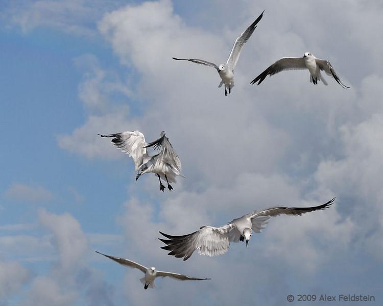 Laughing gulls - Bal Harbour, Florida