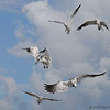 Laughing gulls - Bal Harbour, Florida
