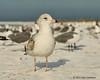 Herring gull, Siesta key