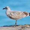 Laughing Gull - Bal Harbour, Florida