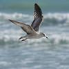 Ring-billed Gull - Bal Harbour, Florida
