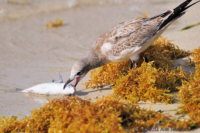 Laughing gull, juvenile