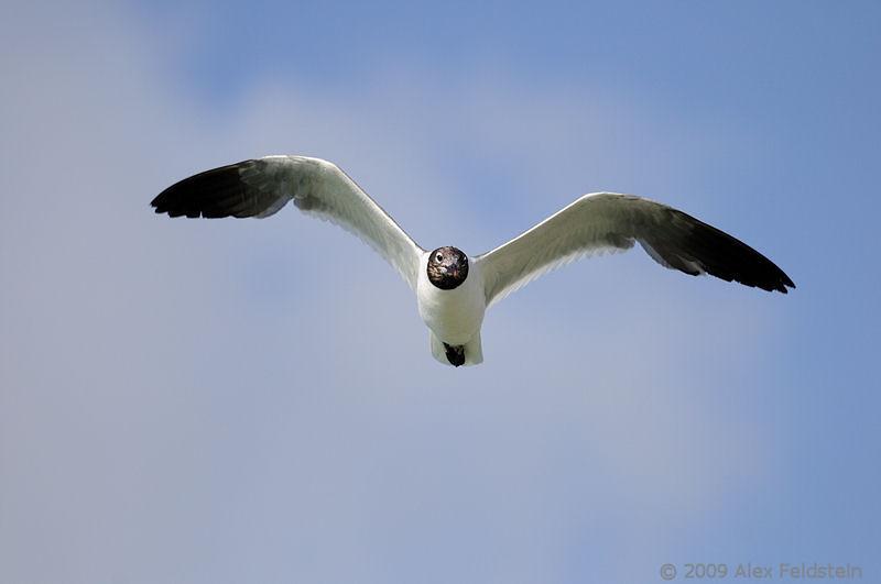 Laughing gull, breeding adult - Bal Harbour, Florida