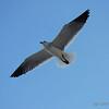 Laughing Gull - Bal Harbour, Florida