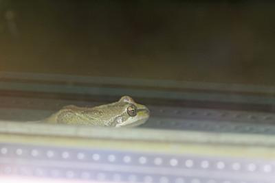 7/17/11 Pacific Tree Frog (Hyla regilla), at night, on the ledge of the library window. Kyle Court, La Cresta, Murrieta. Riverside County, CA