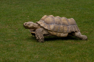 Giant Spurred Tortoise