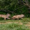Corsac Fox Cubs