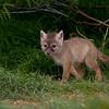 Corsac Fox Cub