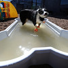 "Ollie spends much of his time in the outdoor pool at Happy Hounds.<br /> For more photos of Happy Hounds, go to  <a href=""http://www.dailycamera.com"">http://www.dailycamera.com</a>.<br /> Cliff Grassmick / July 22, 2011"
