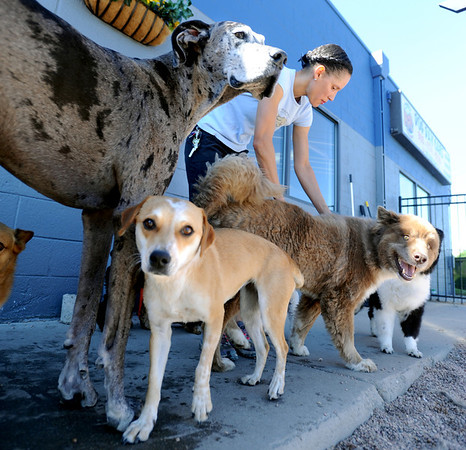 """Olivia Neill, co-owner of Happy Hounds, spends time with the dogs in the outdoor play area at the Longmont facility.<br /> For more photos of Happy Hounds, go to  <a href=""""http://www.dailycamera.com"""">http://www.dailycamera.com</a>.<br /> Cliff Grassmick / July 22, 2011"""