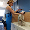 "Anna Kicera gives Snoopy a thorough bath at Happy Hounds.<br /> For more photos of Happy Hounds, go to  <a href=""http://www.dailycamera.com"">http://www.dailycamera.com</a>.<br /> Cliff Grassmick / July 22, 2011"