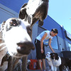 "Olivia Neill, co-owner of Happy Hounds, spends time with the dogs in the outdoor play area at the Longmont facility.<br /> For more photos of Happy Hounds, go to  <a href=""http://www.dailycamera.com"">http://www.dailycamera.com</a>.<br /> Cliff Grassmick / July 22, 2011"