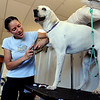 "Olivia Neill, co-owner of Happy Hounds, gives Snoopy a nail trim during his stay.<br /> For more photos of Happy Hounds, go to  <a href=""http://www.dailycamera.com"">http://www.dailycamera.com</a>.<br /> Cliff Grassmick / July 22, 2011"