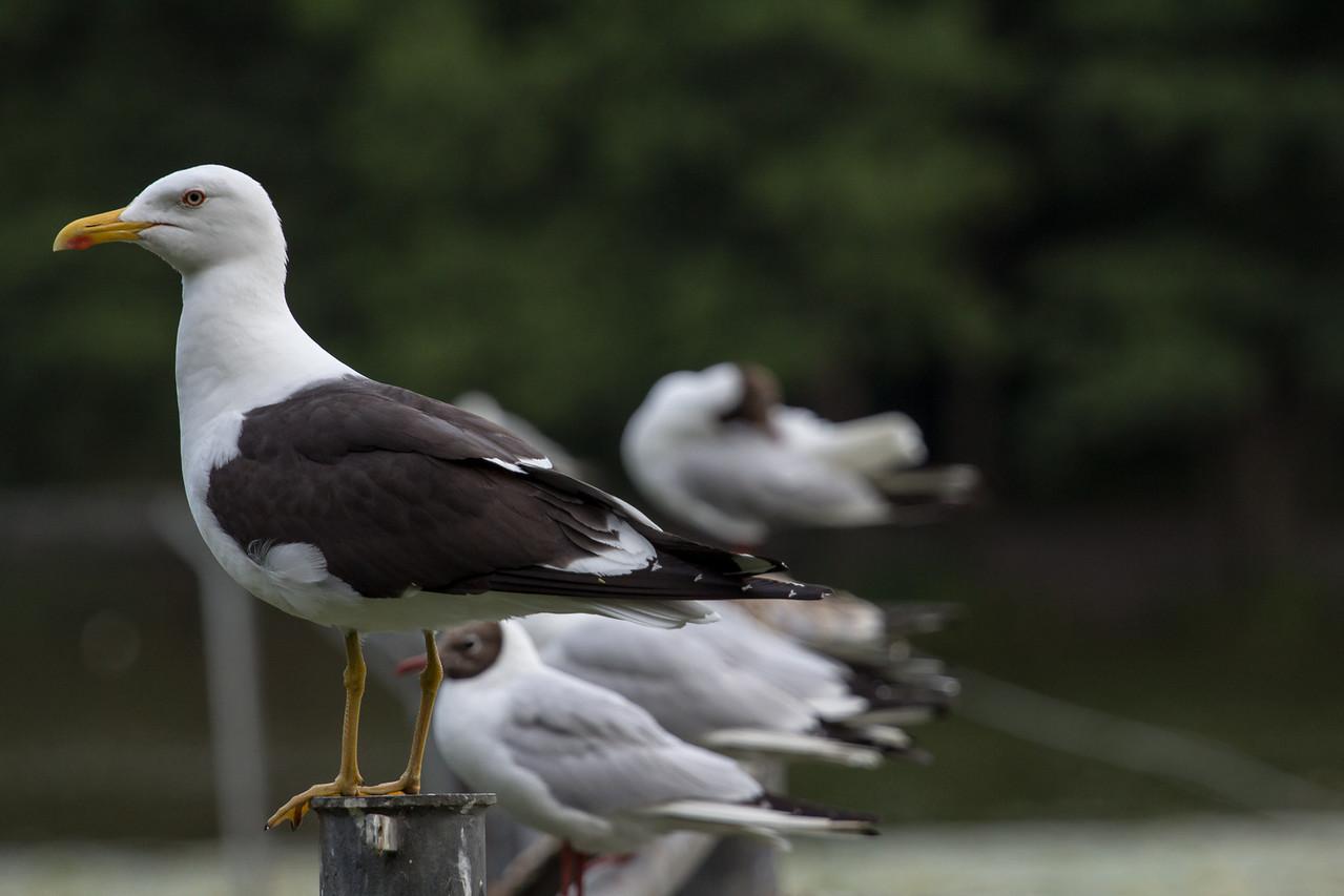Havstrut / Great Black-backed Gull.<br /> I backgrunden Skrattmåsar.