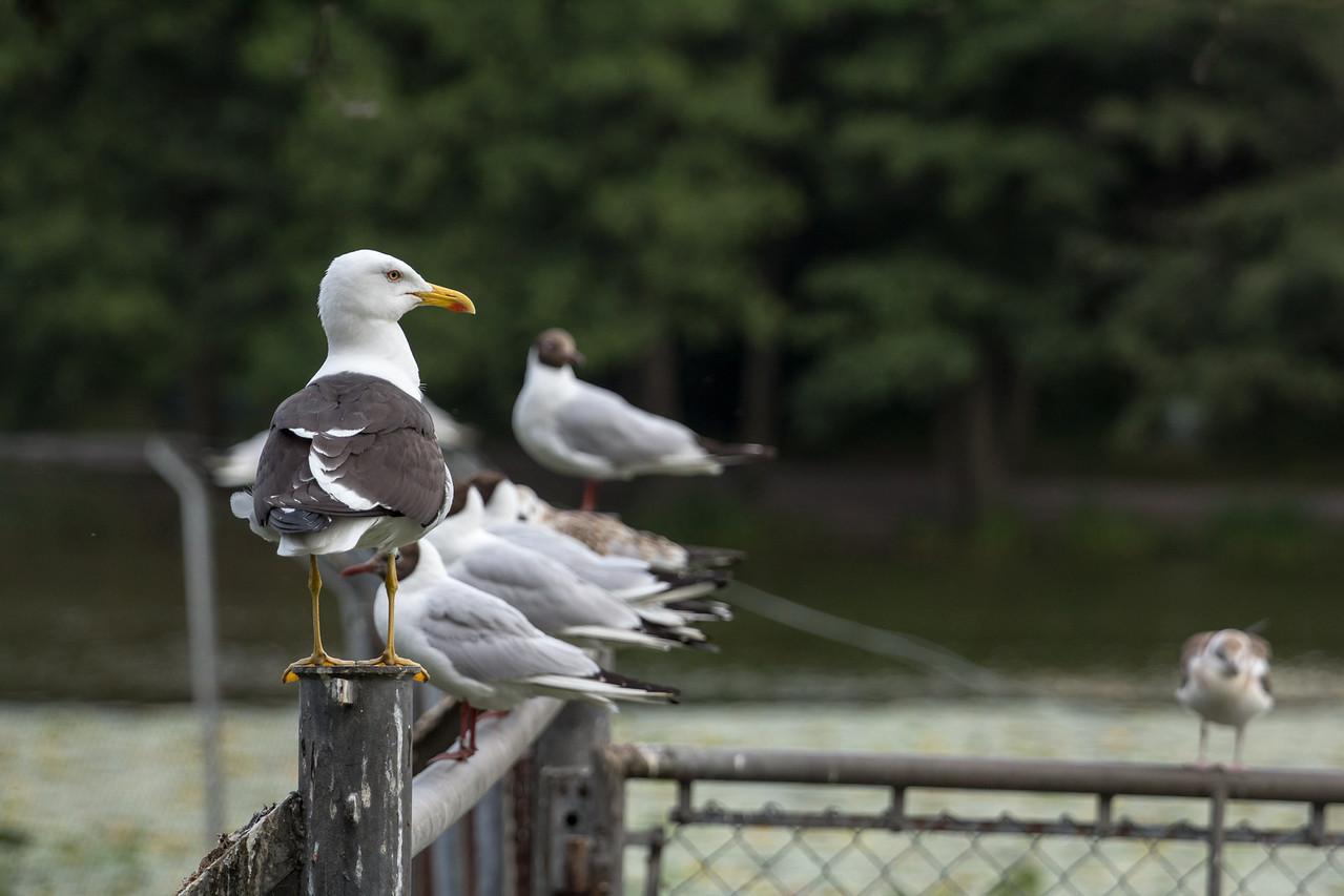 Havstrut / Great Black-backed Gull.<br /> I backgrunden Skrattmåsar till höger unge.