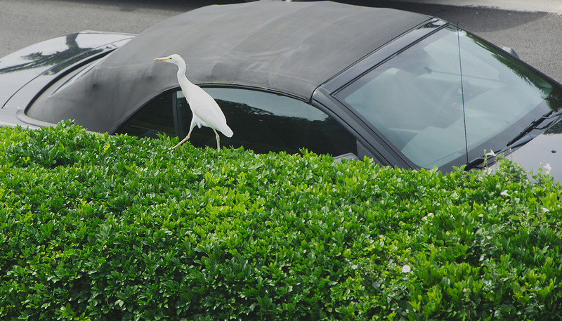 Cattle Egret in front of my Ford Mustang