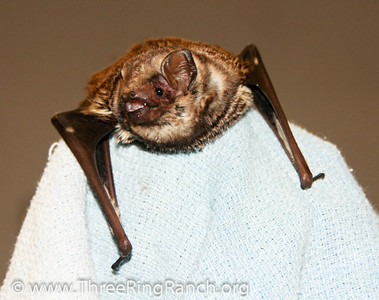 Frodo Hawaiian hoary bat being rehabbed.