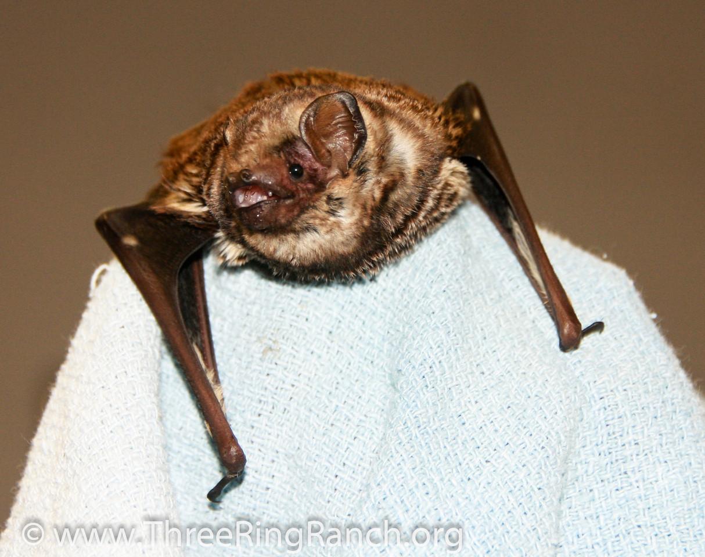 Frodo Hawaiian hoary bat being rehabbed.