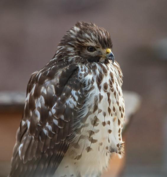 Hawk on deck railing-1
