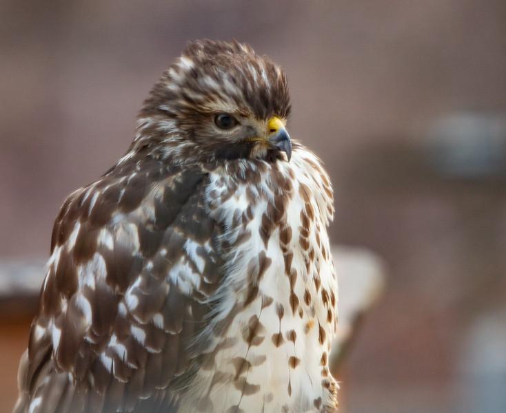 Hawk on deck railing-5