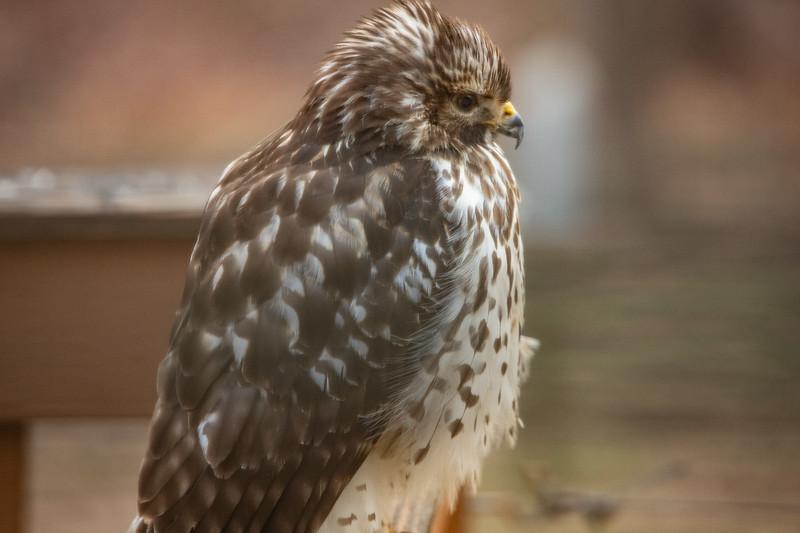 Hawk on deck railing-9