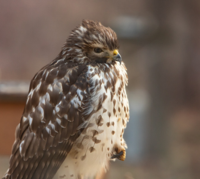 Hawk on deck railing-6