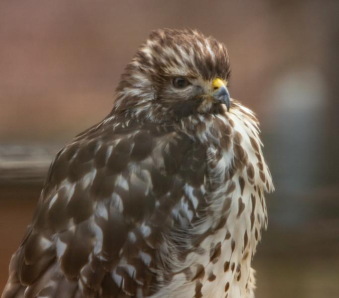 Hawk on deck railing-11