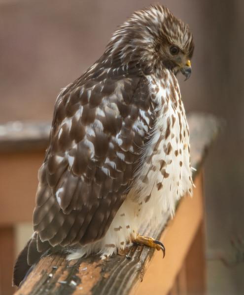 Hawk on deck railing-8