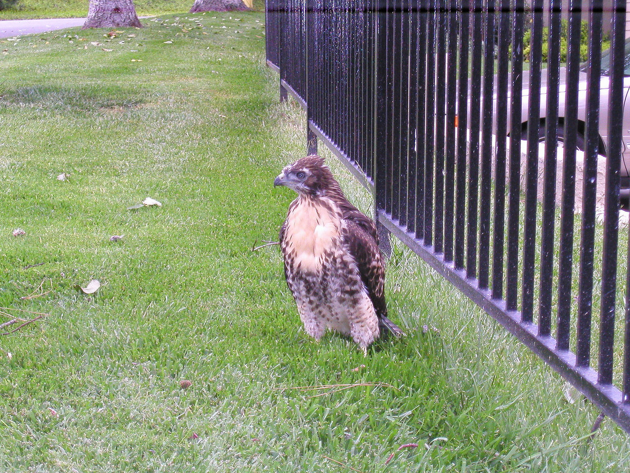 OLYMPUS DIGITAL CAMERA, May 14, 2003: adolescent red-tailed hawk tried to fly but fell to ground.  It then flew up on the wrought-iron fence (next photo)