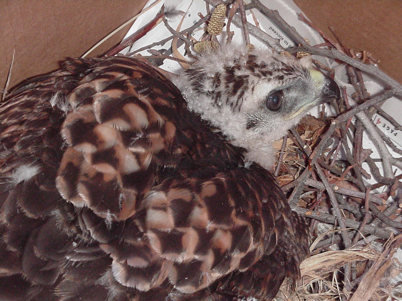 May 1, 2002: One of the two adolescent red-tailed hawks that were gently retrieved when their nest was blown to the ground during a high wind storm.  They were a few weeks away from being able to fly on their own, so they were taken to Ojai Raptor Center where they were nurtured, taught how to hunt, then released into the wild. For days on end following the incident the adults hung around the tree,  crying and looking for their babies.  I wish I could have been able to tell them their babies were safe and in excellent care.  www.ojairaptorcenter.org