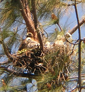 OLYMPUS DIGITAL: April 24, 2004, adult with three hatchlings