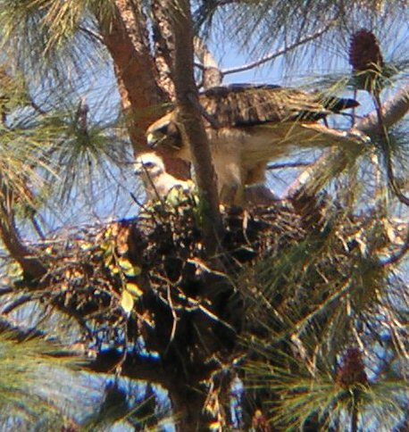 OLYMPUS DIGITAL CAMERA: April 29, 2004: one of the three hatchlings of the 04 season
