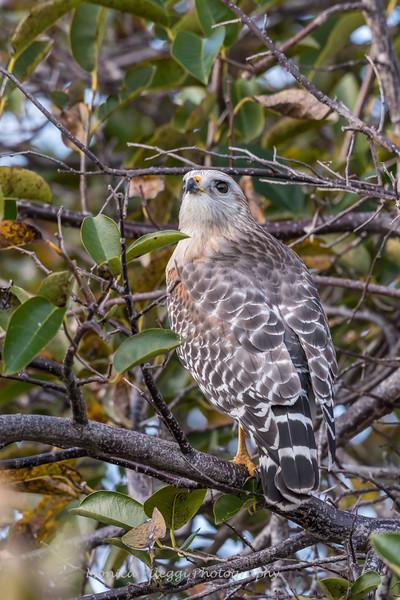 Hawks January 2018-0657