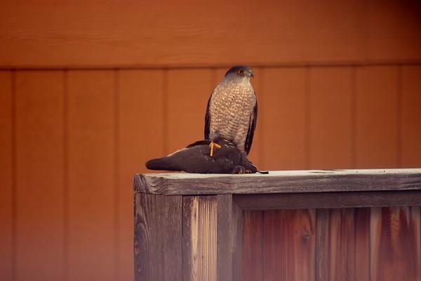 Hawks, Harriers, Osprey, other raptors