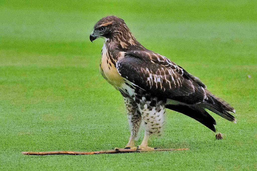 I thought the Hawk had some kind of rodent.  In fact, if you look behind the bird, there is some something left.  But then the Hawk decided to grab and fly away with the stick...which it could not do.