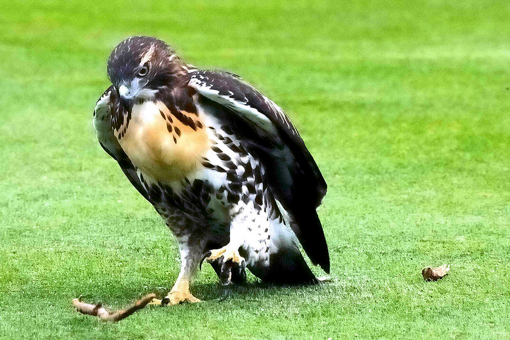 This was fun to watch, the hawk trying ro figure out how to grip the stick.